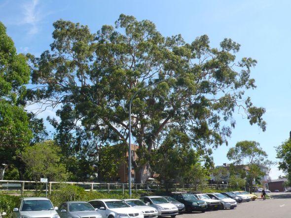 Gordon Tree