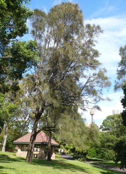 swamp oaks royal botanic gardens