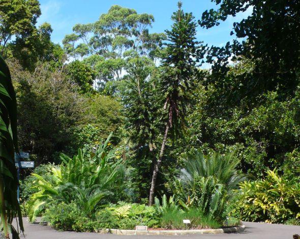 wollemi pine royal botanic gardens
