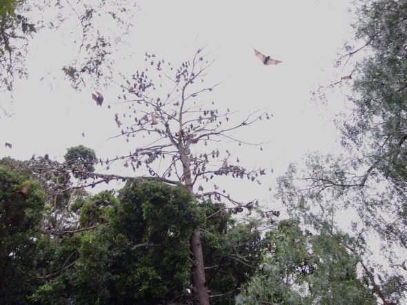 Flying Foxes Parramatta