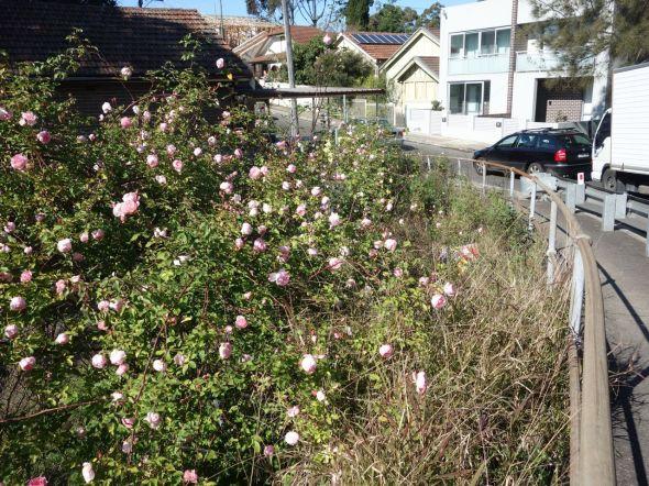 Brown Street Roses