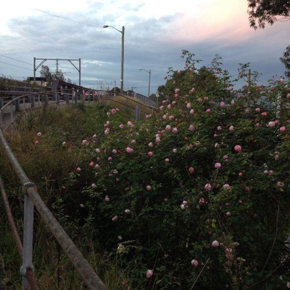 Roadside Roses